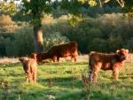 Efterårs kalvene 2014 nyder det milde vejr dette efterår